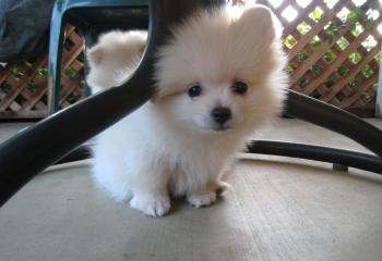 Purebred Miniature Male and Female White Pomeranian Puppies
