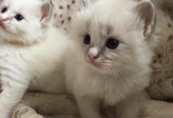 Gccf Grand Champion Sired Beautiful Ragdoll Kittens