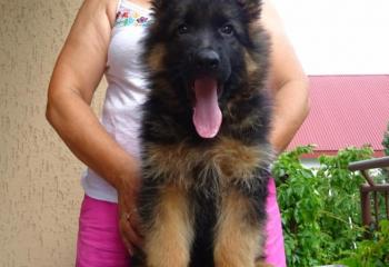 Kc Reg Health Tested German shepherd Puppies