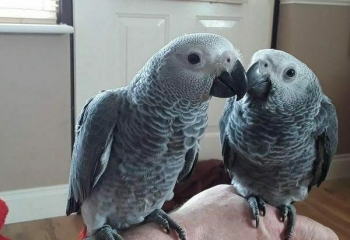 African Grey parrot couple available