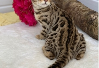 Bengal Kittens males and females