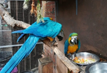 Breeding Pair Blue And Gold Macaws
