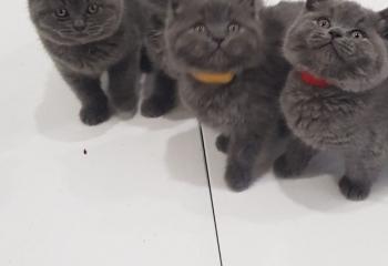 Good Quality British Shorthair Kittens