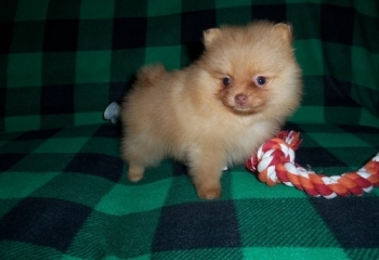 Registered/registerable male and female pomeranian puppies